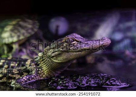 New Orleans Alligator in Artificial Light - stock photo