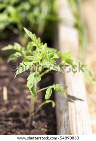 New tomato plant - stock photo