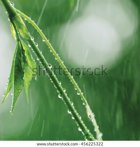 New Virginia Victoria Creeper Leaves Early Summer Rain Wet Fresh Leaf Rainy Day Background Large Detailed Parthenocissus Quinquefolia Five-leaved Five-finger Ivy Macro Closeup Pattern Bokeh - stock photo