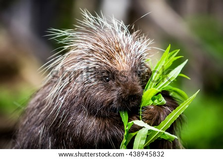 New world porcupine eating leaves from a green stalk