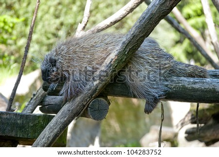 New world porcupine sleeping on the tree - stock photo