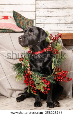 New Year and Christmas dog. Black labrador retriever decorated with branch - stock photo