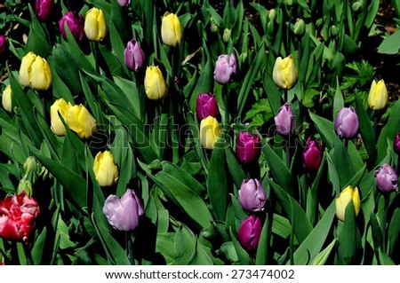 New York City - April 25, 2015:  Tulips at peak bloom in the West 89th Street Community Garden - stock photo