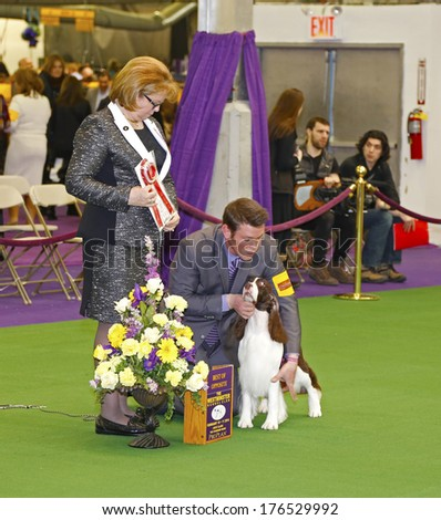 NEW YORK CITY - FEBRUARY 11 2014: The Westminster Kennel Club's 138th annual competition at Madison Square Garden is the dog world's most prestigious contest. Springer Spaniel prepped for photos - stock photo