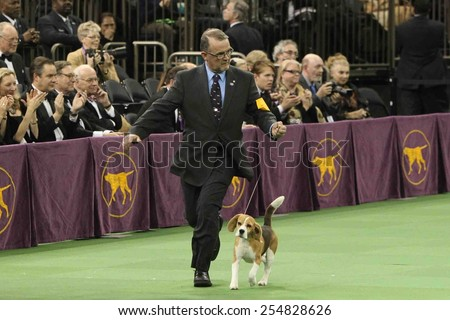 NEW YORK-FEB 17: Miss P, a 15-inch beagle is shown by William Alexander before winning Best in Show award at the 139th Annual Westminster Kennel Club Dog Show on February 17, 2015 in New York City.  - stock photo