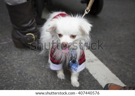 NEW YORK - MAR 27 2016: A little white dog wearing an Easter costume walks along 5th Avenue Easter Sunday during the traditional Easter Bonnet Parade in Manhattan on March 27, 2016. - stock photo