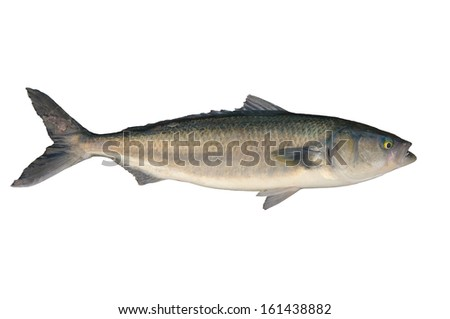 New Zealand Caraway fish isolated over white