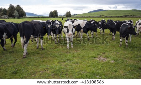 New Zealand dairy cows - stock photo