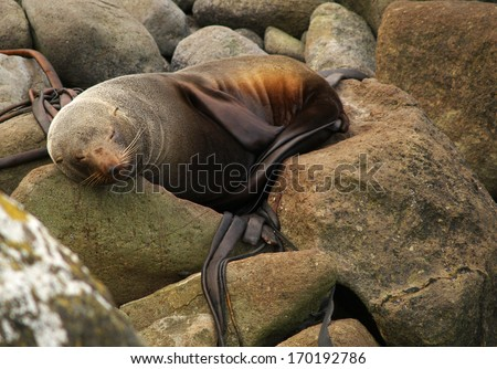 New Zealand fur seal on the rock - stock photo