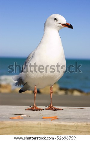New Zealand gull standing on rail with ocean behind - stock photo