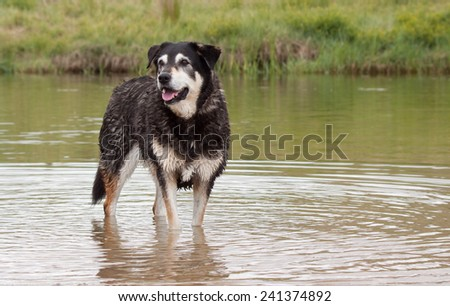 New Zealand Huntaway sheep dog standing in water where a river turns into a tidal lagoon  - stock photo