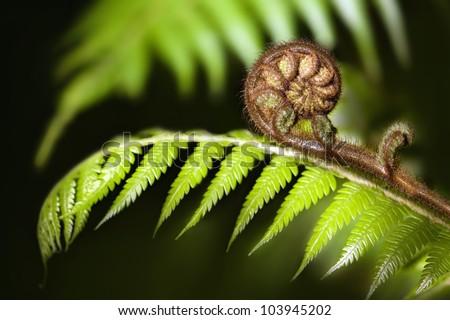 New Zealand iconic fern koru - stock photo