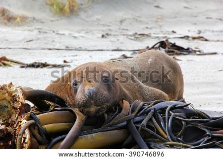 New zealand sea lion, resting its head on big sea weeds. - stock photo