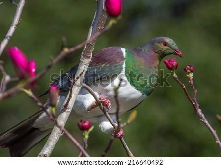 New Zealand wood pigeon, (Keruru), Hemiphaga novaeseelandiae - stock photo