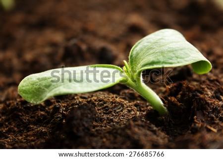 New zucchini seedlings growing in black soil - stock photo