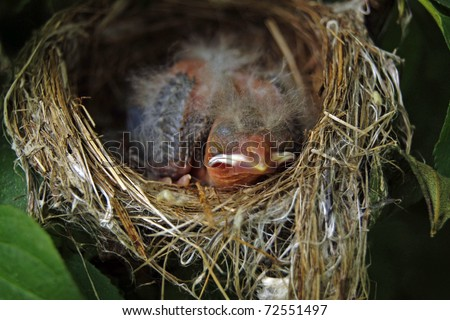 Newborn baby finch asleep in the nest - stock photo