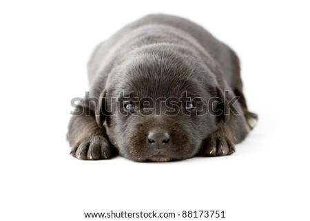 Newborn black labrador puppy - stock photo