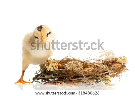 Newborn chick in the nest isolated on white background - stock photo