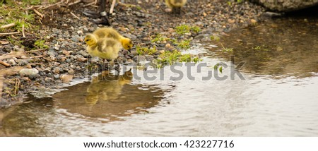 Newborn chicks baby birds move along the shoreline looking for food - stock photo