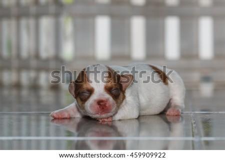 Newborn  chihuahua puppy - stock photo