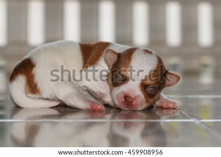 Newborn  chihuahua puppy, puppy Chihuahua. - stock photo