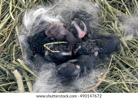 Newborn Dwarf Dutch rabbits   in the nest of dry grass and down