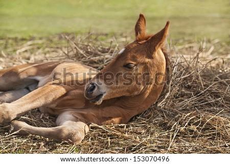 Newborn foal (1 week) on hay - stock photo