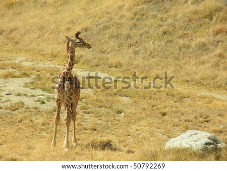 Newborn Giraffe - stock photo