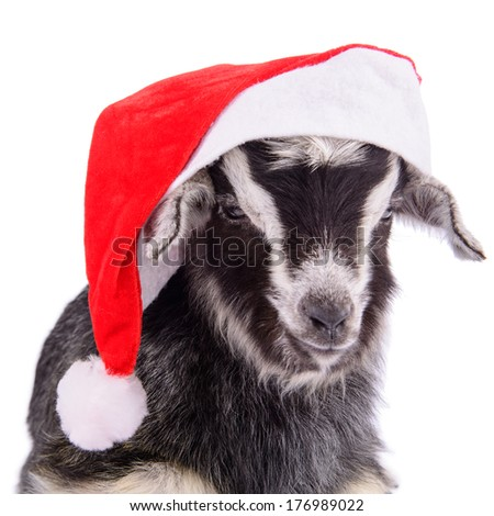newborn goat with new year hat. farm animal. Isolated on white background
