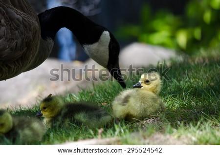 Newborn Gosling Staying Close to Mom - stock photo
