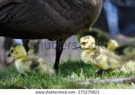 Newborn Goslings Staying Close to Mom - stock photo