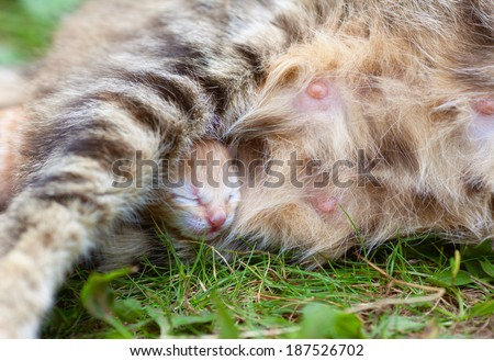 Newborn kitten hiding under mom cat's leg - stock photo