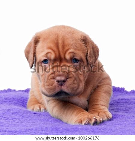 Newborn mastiff puppy on a carpet - stock photo
