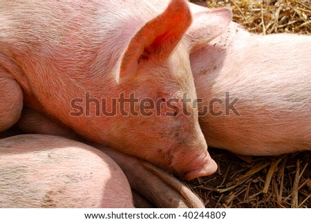 Newborn piglet sleeping in the sun on it's siblings - stock photo
