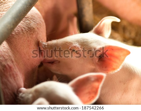 Newborn piglet sucking the breasts of its mother.  - stock photo