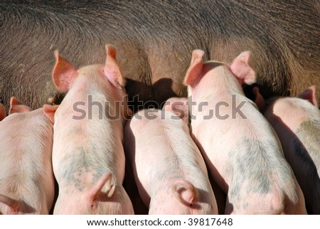 newborn piglets competing to nurse. - stock photo