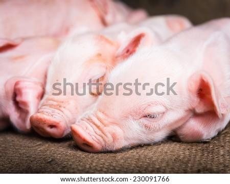 Newborn piglets sleeping - stock photo