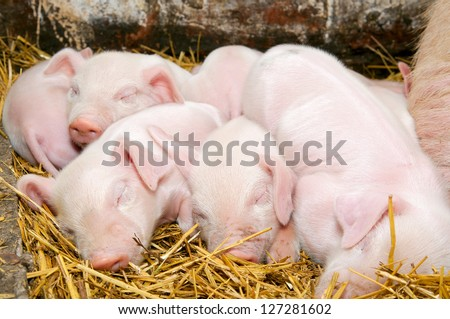 Newborn piglets sleeping after eating next to his mother - stock photo