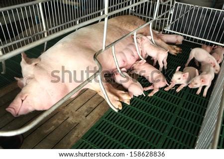 Newborn pigs feeding in modern kennel  - stock photo