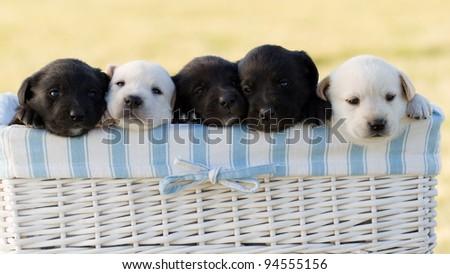 Newborn  puppies in basket - stock photo