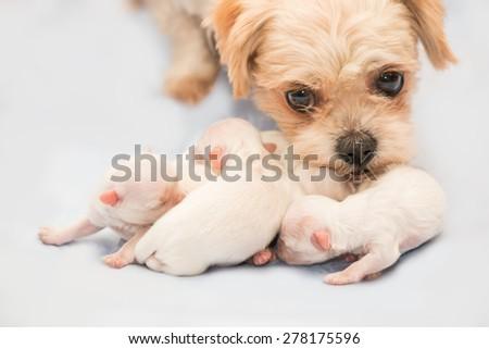 Newborn puppies shih tzu dog with adult mother - stock photo