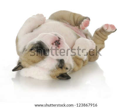 newborn puppy - english bulldog puppy - 3 weeks old - stock photo
