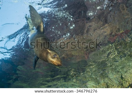 newborn sea lion underwater coming to you to have fun and play