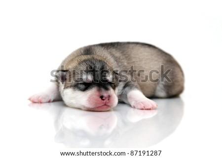 newborn siberian husky puppy - stock photo
