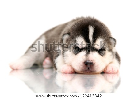 newborn Siberian Husky puppy, age of 14 days - stock photo