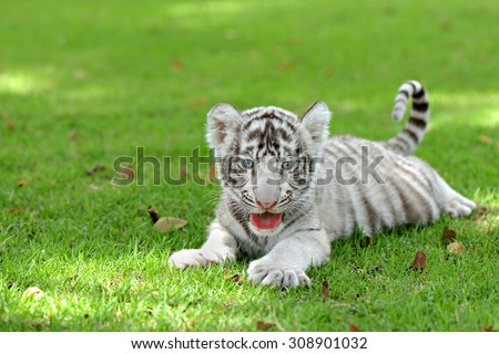 Newborn white Tiger cub lying down on field and open mouth like smile - stock photo