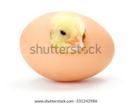 Newborn yellow chicken hatching from egg - stock photo