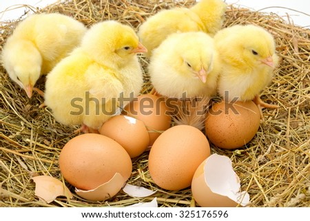 Newborn yellow chickens in hay nest along whole and broken eggs - stock photo