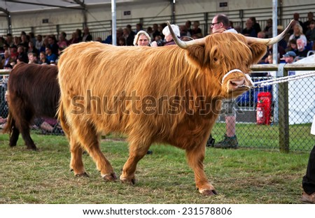 NEWBURY, UK - SEPTEMBER 21: A champion Highland cattle entrant to the Berks County show is paraded around the show arena during the grand cattle finale show on September 21, 2014 in Newbury - stock photo