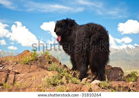 newfoundland dog - stock photo